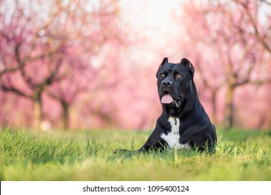 amazing portrait of black cane corso in the blossoming park