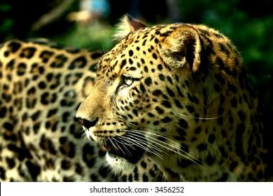 Amazing portrait of a leopard mother
