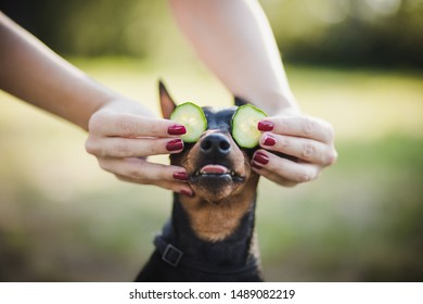 amazing portrait of young black mini dog (pinscher) with healthy cucumber in summer grass