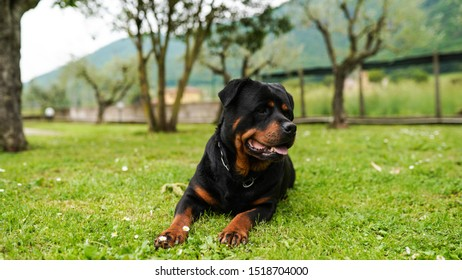 Amazing portrait of young black rottweiler puppy lying in the garden on the grass. Faithful pet guarding its house, relation between animals and human