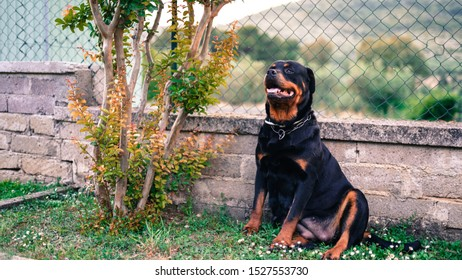 Amazing portrait of young black rottweiler dog sitting in the garden on the grass. Faithful pet guarding its house, relation between animals and human