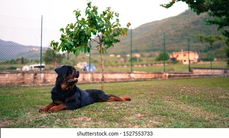 Amazing portrait of young black rottweiler dog lying in the garden on the grass under the young cherry tree. Faithful pet guarding its house, relation between animals and human. Dog posing on camera