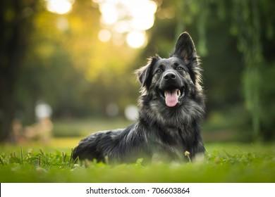 erstaunliches Porträt von jungen Kreuzhunden (deutscher Schäferhund) bei Sonnenuntergang im Gras