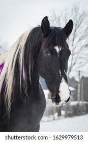 amazing portrait of young and happy  black and white barock pinto horse in the snow