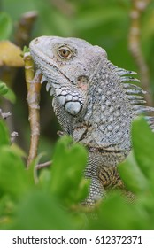 Amazing profile of a gray iguana sitting in the top of a bush.