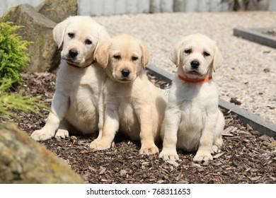 Amazing puppies of labrador retriever in the garden