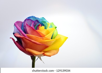 Amazing rainbow rose flower and multicolour petals, beautifully named happy flower