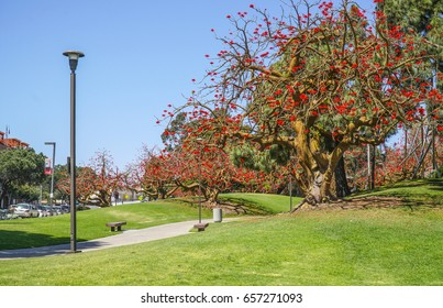 Amazing red blooming trees in San Diego - SAN DIEGO / CALIFORNIA - APRIL 21, 2017