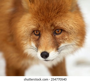 Amazing red fox male, vulpes vulpes, on white snow background. Excellent head of beautiful forest wild beast. Smart look of dodgy vulpes, skilled raptor and elegant animal. Cute and cuddly creature.