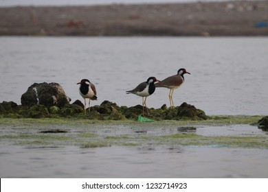 Amazing Red Wattled bird lapwing with best location  River you naver seen this type bird.