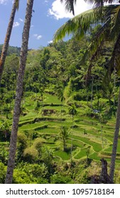 Amazing Rice terraces in Bali Indonesia with a palm trees