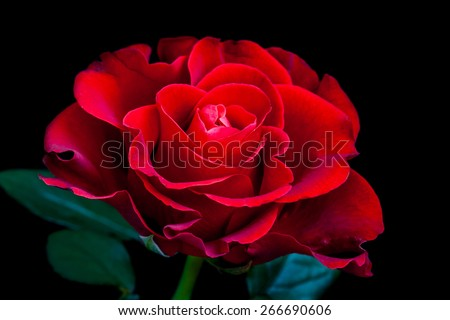 amazing rose mysterious red flower on stock photo edit now
