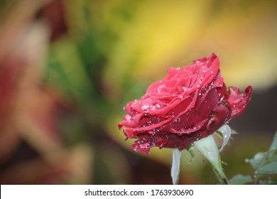 Amazing rose of red has dew and droplets all over it after rain