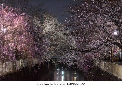 Amazing scenery in spring in Japan of cherry blossoms around the river by illuminated night