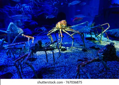 amazing sea animal, japan giant spider crab with very long legs in the blue tank.