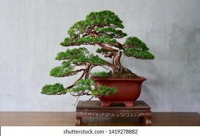 Amazing semi cascade of bonsai show