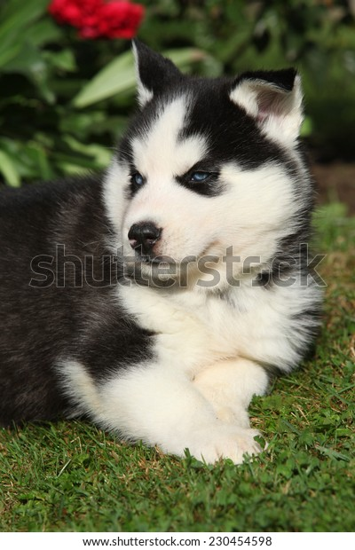 Amazing siberian husky lying in front of red flowers in the garden