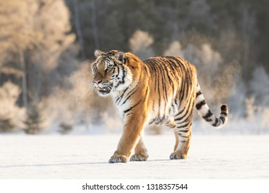 Amazing Siberian Tiger female on sunny winter day. Gorgeous, dangerous and endangered animal. Powerful, majestic and beautiful predator. In its own environment, cold winter, snow, trees.