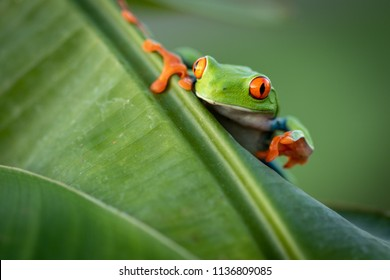 Amazing small cute frog sitting on a banana leaf. Happy frog, very colorful. Natural scene, frog sitting on banana leaf. Natural light. Typical exotic jungle forest. Green, red, beautiful.