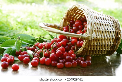 amazing sour cherries in summer time