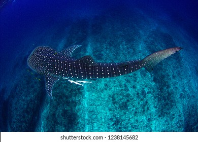 The amazing spot patterns of the worlds largest fish- the whale shark cruising in crystal clear water