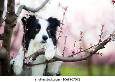 amazing spring portrait of happy and healthy black and white border collie in the flowering plantation