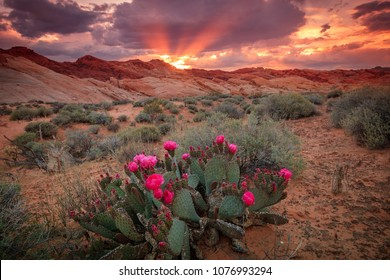Amazing spring sunset in the Nevada desert with cactus flowers, USA.