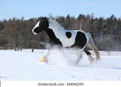 Amazing stallion of irish cob running alone in winter
