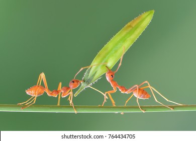Amazing Strong Ants