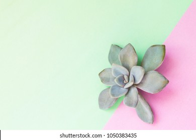Amazing succulent flower, stone rose on soft color background, light green and pink, with copy space for logo or text. Still life.