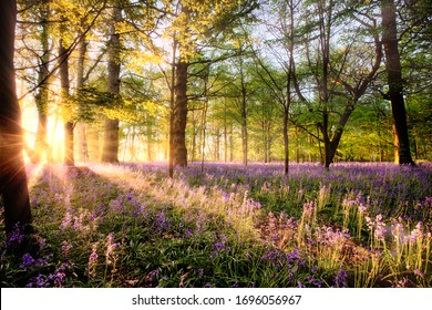 Amazing sunrise through bluebell woodland. Wild spring flowers hidden in a forest landscape with early dawn sunlight