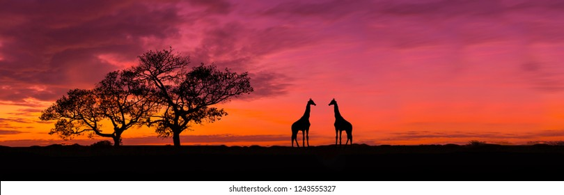 Amazing sunset and sunrise.Panorama silhouette tree in africa with sunset.Tree silhouetted against a setting sun.Dark tree on open field dramatic sunrise.Safari theme.Giraffes African.