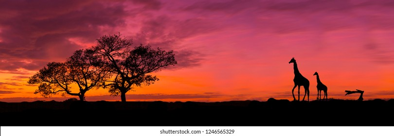 Amazing sunset and sunrise.Panorama silhouette tree in africa with sunset.Tree silhouetted against a setting sun.Dark tree on open field dramatic sunrise.Safari theme.Giraffes , Lion , Rhino.