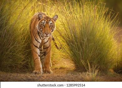 Erstaunlicher Tiger in der Natur. Tiger Pose während der goldenen Lichtzeit. Tierwelt mit gefährlichem Tier. Heisser Sommer in Indien. Trockene Gegend mit schönem indianischem Tiger. Panthera tigris.