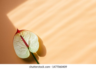 Amazing tropical anthurium flower on peach pink pastelbackground. Place for text. Top color Fall-Winter 2019.