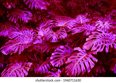 Amazing tropical plants im botanical garden for wallpapers, advertising web page and editorial design. Vibrant colors in purple, blue and green.  - Shutterstock ID 1960711630