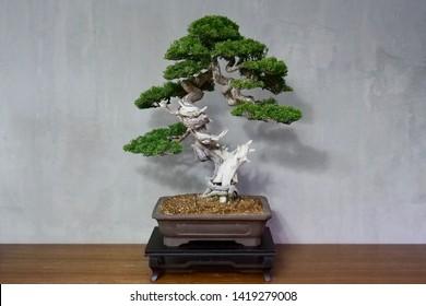 Amazing trunk shape of bonsai