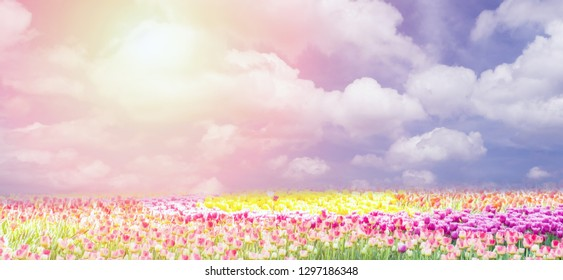 Amazing tulips field. Spring season tulip in a beautiful meadow. Nature background. Happy spring day.