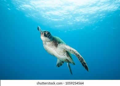 Amazing Underwater Green Sea Turtle in Crystal Clear Blue Water of Hawaii