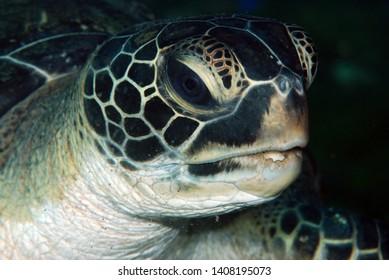 Amazing underwater world - Chelonia mydas - Green turtle feeding/eating. Tulamben, Bali, Indonesia.