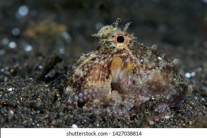 Amazing underwater world - Coconut Octopus. Diving, macro photography, night dive. Tulamben, Bali, Indonesia.
