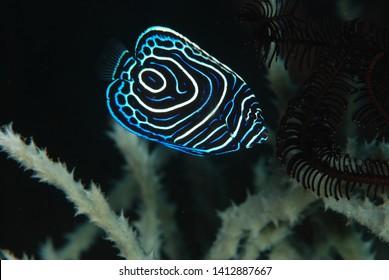 Amazing underwater world - Emperor Angelfish juvenile (Pomacanthus imperator). Fantastic fish of incredible color. Underwater macro photography. Tulamben, Bali, Indonesia.