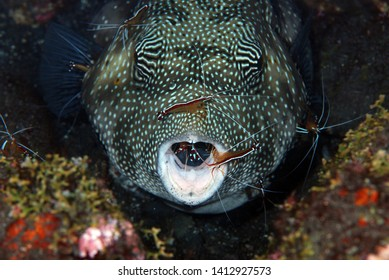 Amazing underwater world - Puffer fish at the cleaning station live together with cleaner shrimp. Underwater symbiosis. Tulamben, Bali, Indonesia.