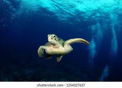 Amazing underwater world - Green turtle - Chelonia mydas. Apo Island, Philippines.