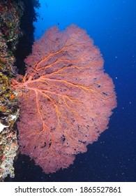 Amazing underwater world- magnificent Gorgonian fan on a reef wall in Pacific Ocean,  Republic of Palau