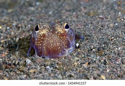 Amazing underwater world - Sepiadarium kochi - White-eyed bobtail squid. Night diving. Macro photography. Tulamben, Bali, Indonesia.