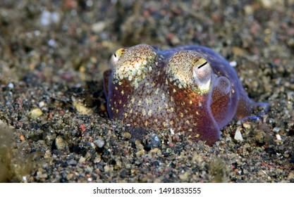 Amazing underwater world - Sepiadarium kochi - White-eyed bobtail squid. Diving and underwater macro photography in Tulamben, Bali, Indonesia.