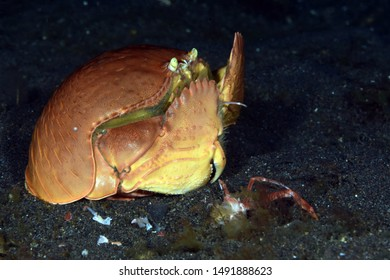 Amazing underwater world -  Shame-faced crab - Calappa calappa. Crab eating another crab. Diving and underwater photography in Tulamben, Bali, Indonesia.