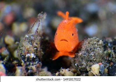 Amazing underwater world - tiny orange frogfish. Painted Frogfish -Antennarius pictus. Diving and macro underwater photography. Tulamben, Bali, Indonesia.