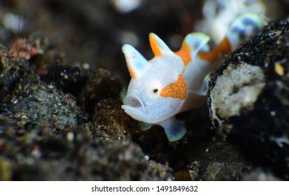 Amazing underwater world - Warty Frogfish - Antennarius maculatus. Tiny juvenile. Diving and macro underwater photography in Tulamben, Bali, Indonesia.